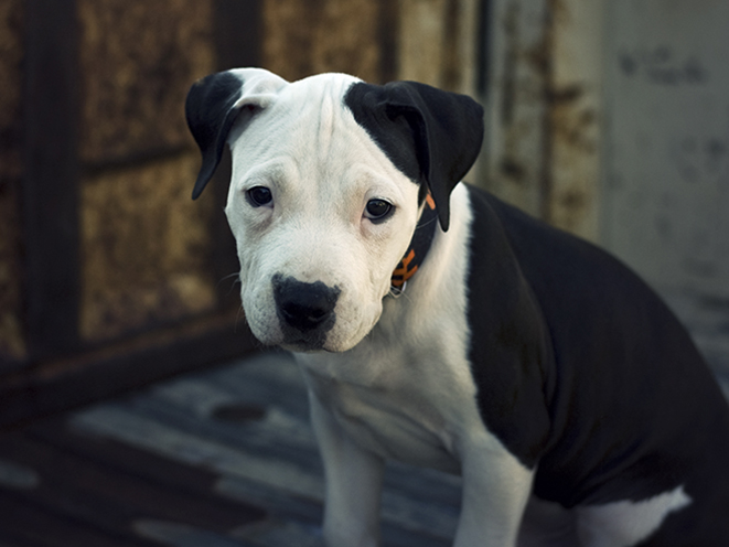 American Pit Bull Terrier personal protection dogs