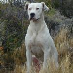 Argentine Mastiff personal protection dogs