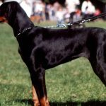 Doberman Pinscher personal protection dogs