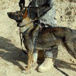 German Shepherd personal protection dogs