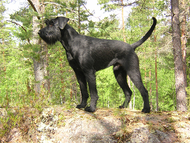 Giant Schnauzer personal protection dogs