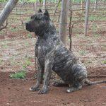 Perro de Presa Canario personal protection dogs
