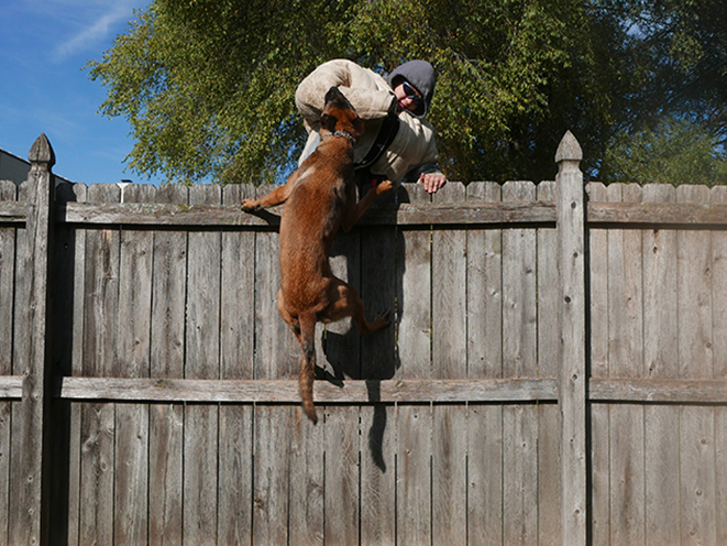 Personal Protection Dog jump
