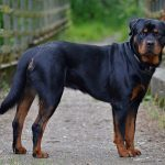 Rottweiler personal protection dogs
