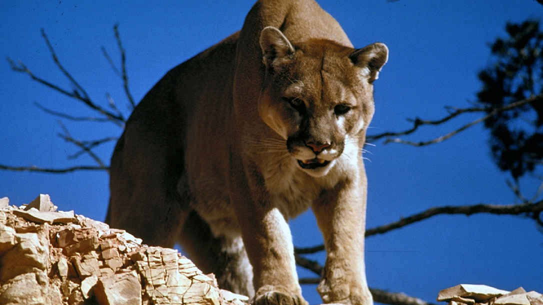 Man Fends off Mountain Lion Attack